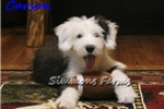 Picture of AKC Carson-Adorable Male Sheepdog Puppy!