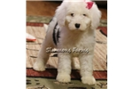 Picture of Ally-BLUE EYE Sheepadoodle, BEAUTIFUL Female Puppy