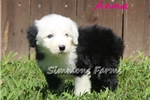 Picture of AKC Anna-Beautiful BLUE EYE Female Sheepdog Pup!