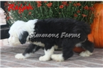 Picture of AKC Ralph-Stunning Male Sheepdog Puppy!
