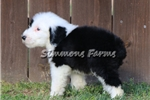Picture of AKC Max-Cute Male Sheepdog Puppy!