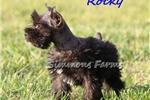 Picture of Rocky-Tiny, Cute Male Mini Schnauzer Puppy!