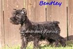 Picture of Bentley-Adorable Male Mini Schnauzer Puppy!
