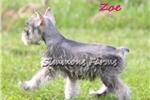 Picture of Zoe-Beautiful Salt/Pepper Female Mini Schnauzer!