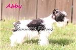 Picture of Abby-Gorgeous Parti Female Mini Schnauzer Puppy!!