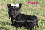 Picture of AKC Macy-Gorgeous Female Scottish Terrier Puppy!