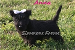 Picture of AKC Anna-Stunning Female Scottish Terrier Puppy!