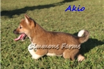 Picture of AKC Akio-Stunning Male Shiba Inu puppy!
