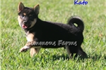 Picture of AKC Kato-Beautiful Shiba Inu Male Puppy!