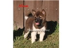 Picture of AKC Hina-Beautiful Female Shiba Inu puppy!