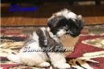 Picture of AKC Gizmo-Beautiful Male Shih Tzu puppy!