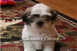 Picture of AKC Connor-Very Active little Male Shih Tzu Puppy!