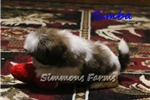 Picture of AKC Simba-Super Cute little Shih Tzu male Puppy!
