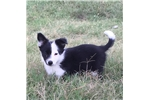 Picture of Phantom the Border Collie