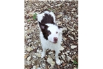 Picture of Pete the Border Collie