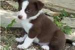 Prince Harry the Border Collie | Puppy at 14 weeks of age for sale