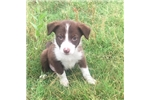 Bobby Brown the Border Collie | Puppy at 14 weeks of age for sale