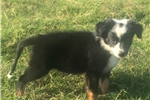 Picture of Lex the Border Collie