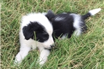 Picture of Clark the Border Collie