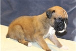 Picture of AKC 1/2 Euro 1/2 American Ashlee