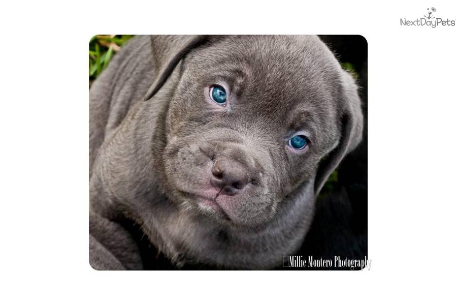 Adult Mastiffs for Sale Mastiff Adult Dogs for Sale