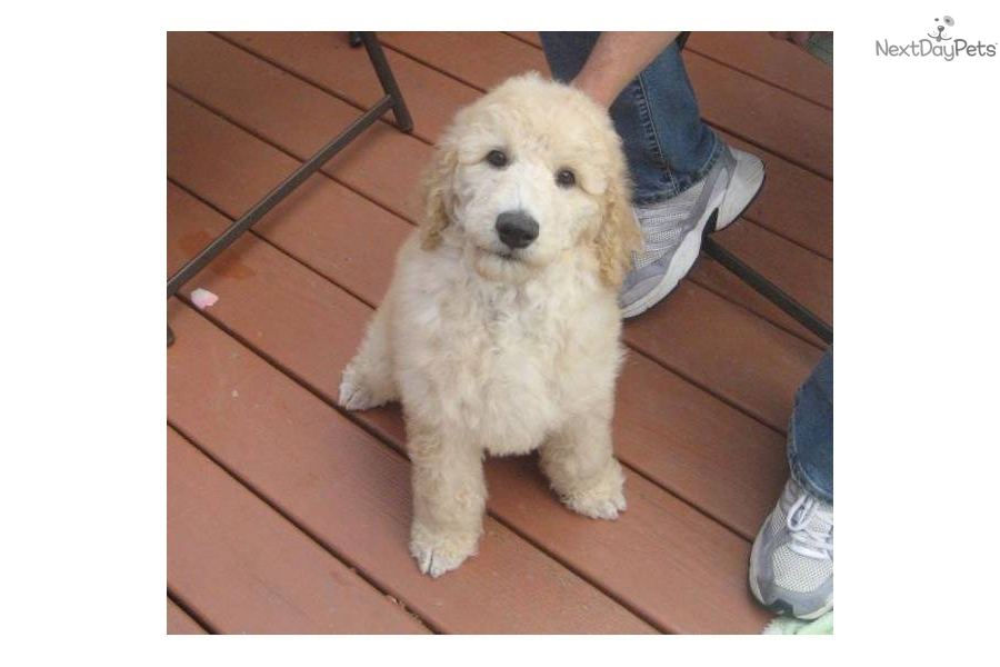 akc-standard-poodle-puppy-cream-maledog-poodle-standard-puppy-1810760d