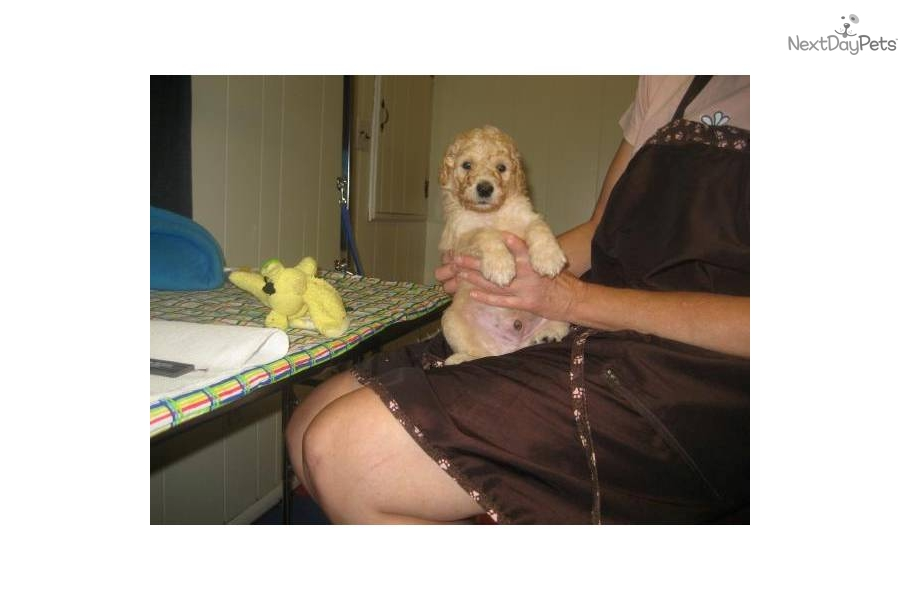 akc-standard-poodle-puppy-cream-maledog-poodle-standard-puppy-48ee6a2f