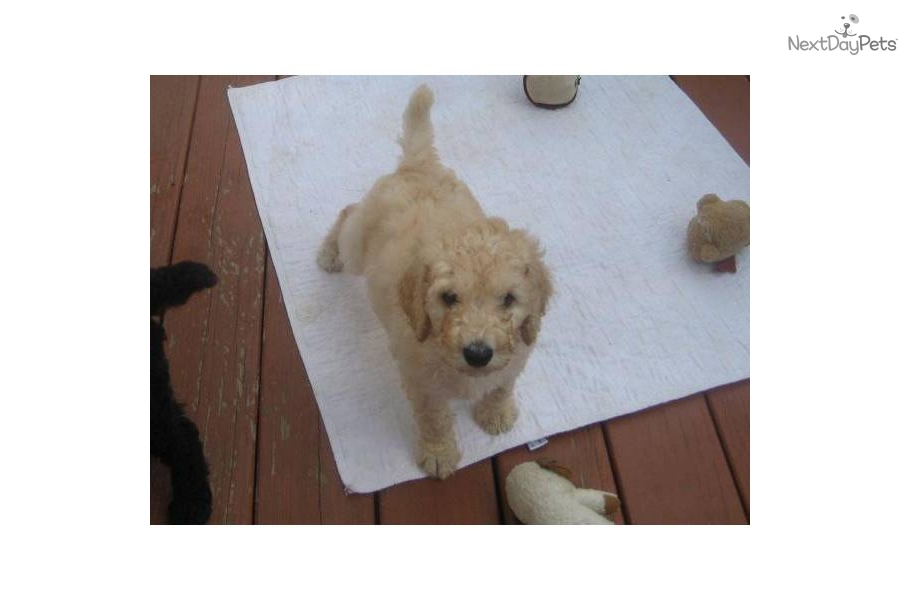 akc-standard-poodle-puppy-cream-maledog-poodle-standard-puppy-5a667f98