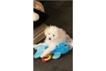 Picture of Tea Cup Toy Poodle Puppy AKC