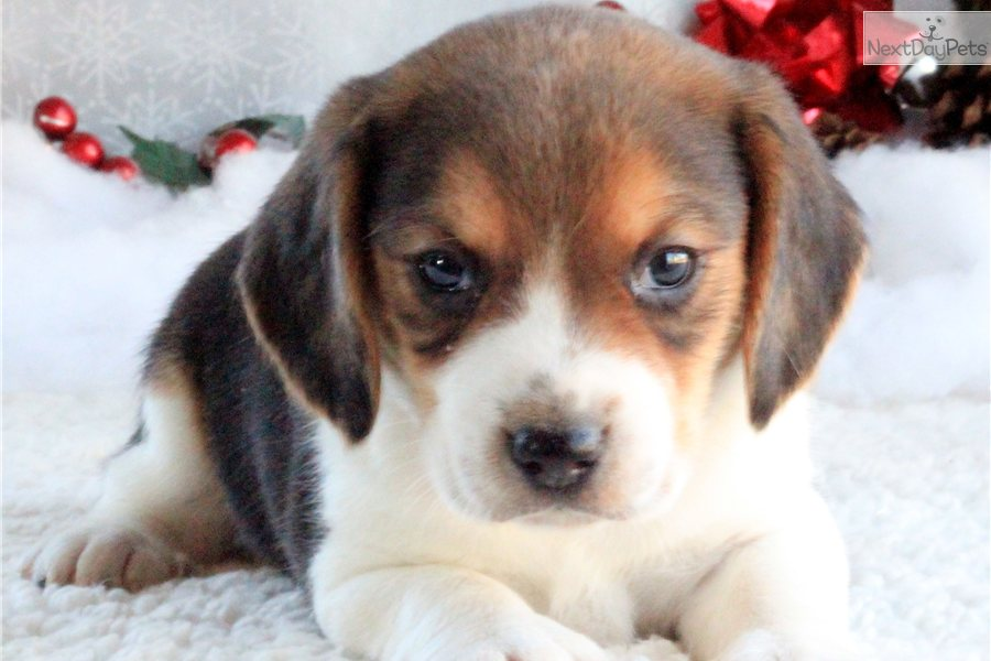 Meet Premier Puppies 417-274-0443 a cute Beagle puppy for sale for $