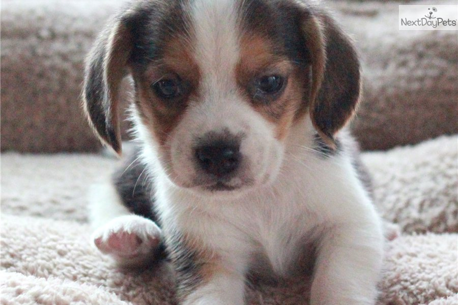 Pocket Beagle Puppies2 Teacup Puppies Pictures