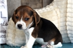 Picture of *Champ*AKC Registered*www.buypuppiestoday.com