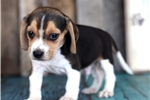 Picture of *Parker*AKC Registered*www.buypuppiestoday.com