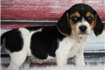 Picture of *Abigail*AKC*www.buypuppiestoday.com