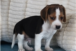 Picture of *Tucker*AKC Registered*www.buypuppiestoday.com