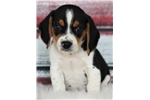 Picture of *Stanley*AKC*www.buypuppiestoday.com