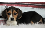 Picture of *Candy*AKC*www.buypuppiestoday.com