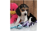 Picture of *Drew*Registered*www.buypuppiestoday.com