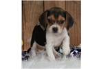 Picture of *Dana*Registered*www.buypuppiestoday.com