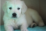 Picture of *Jax*AKC Registered*www.buypuppiestoday.com