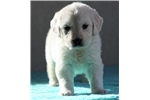 Picture of *Daisy*AKC Registered*www.buypuppiestoday.com
