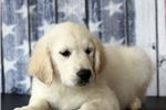 Picture of *Vince*AKC*Sire OFA Certified*417-293-0641