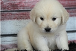 Picture of *Ziggy*AKC Registered*www.buypuppiestoday.com