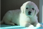 Picture of *Mack*AKC Registered*www.buypuppiestoday.com