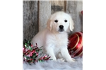 Picture of *Paisly*AKC Registered*English Cream Retriever*