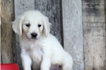 Picture of *Prince*AKC Registered*www.buypuppiestoday.com
