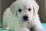 Picture of *Macy*AKC Registered*www.buypuppiestoday.com