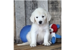 Picture of *Vince*AKC Registered*www.buypuppiestoday.com