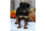 Picture of *Vanessa*AKC Registered*www.buypuppiestoday.com*