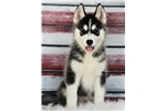 Picture of *Victoria*AKC Registered*www.buypuppiestoday.com